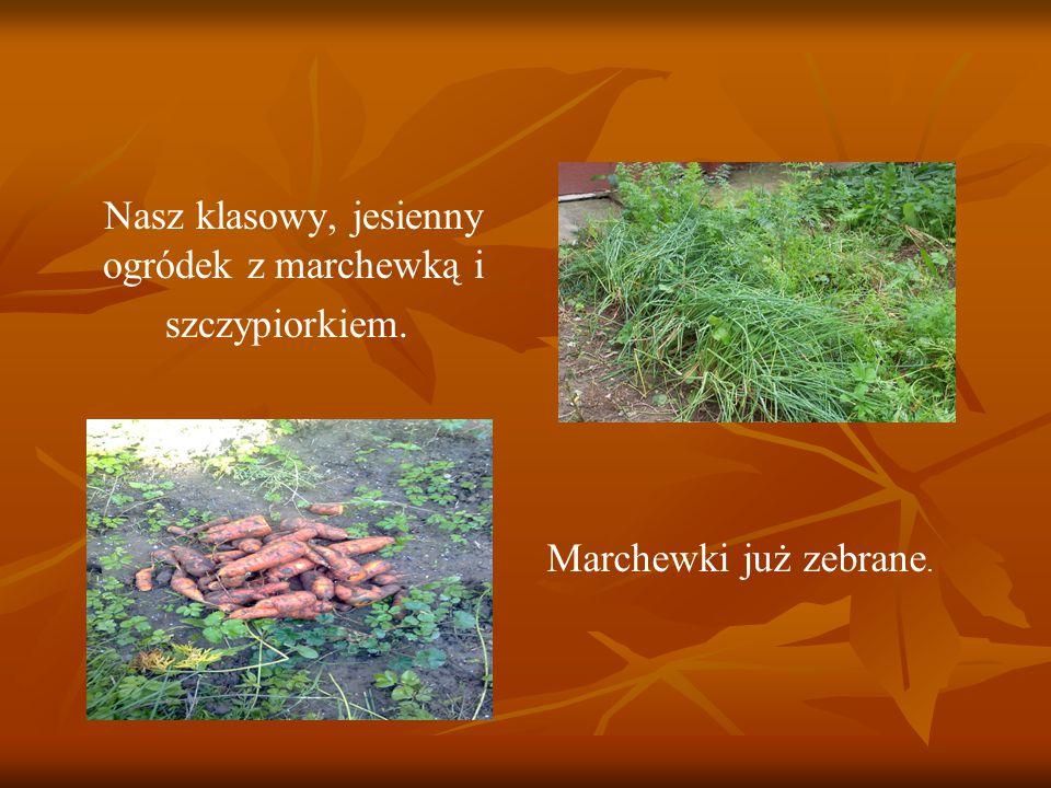 Nasz klasowy, jesienny ogródek z marchewką i