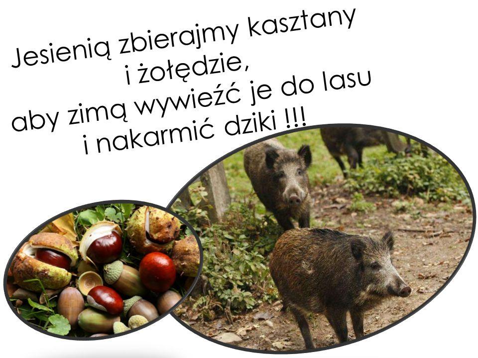 Jesienią zbierajmy kasztany i żołędzie, aby zimą wywieźć je do lasu i nakarmić dziki !!!