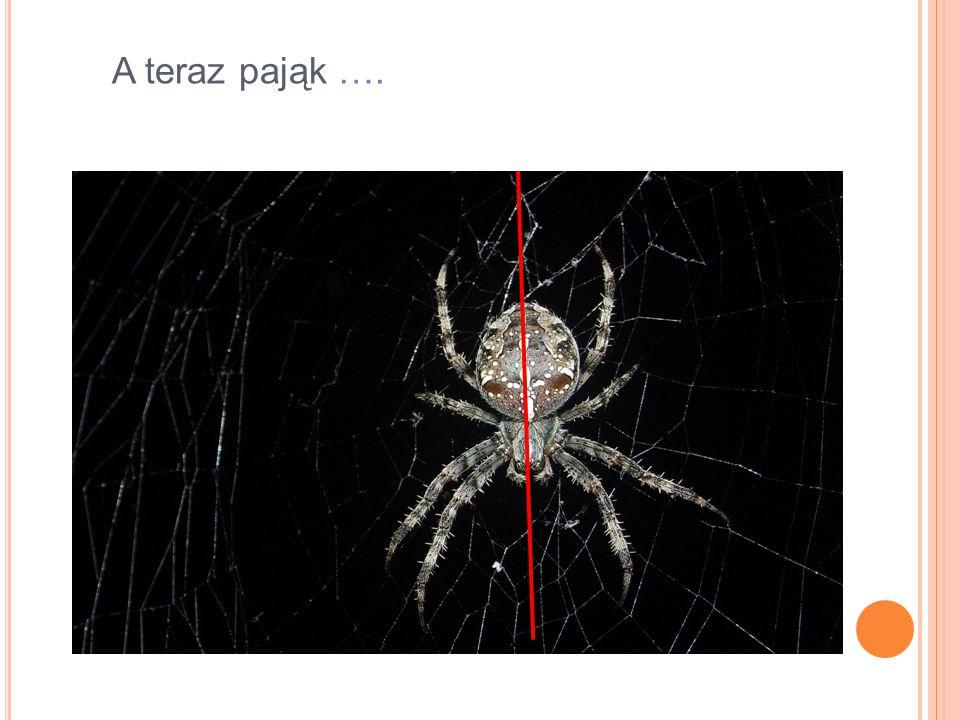 A teraz pająk ….