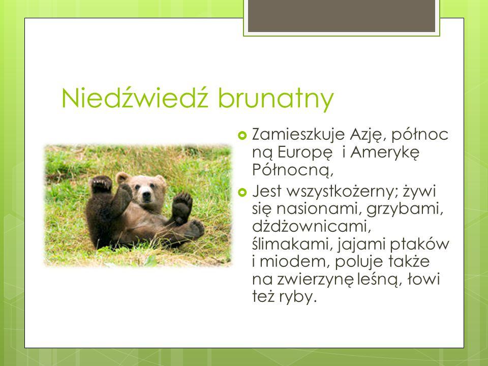 Niedźwiedź brunatny Zamieszkuje Azję, północną Europę i Amerykę Północną,