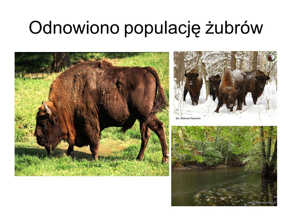 Odnowiono populację żubrów