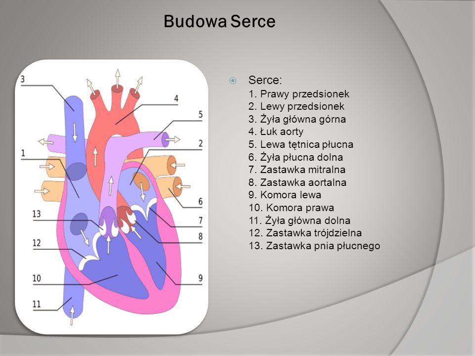 Budowa Serce