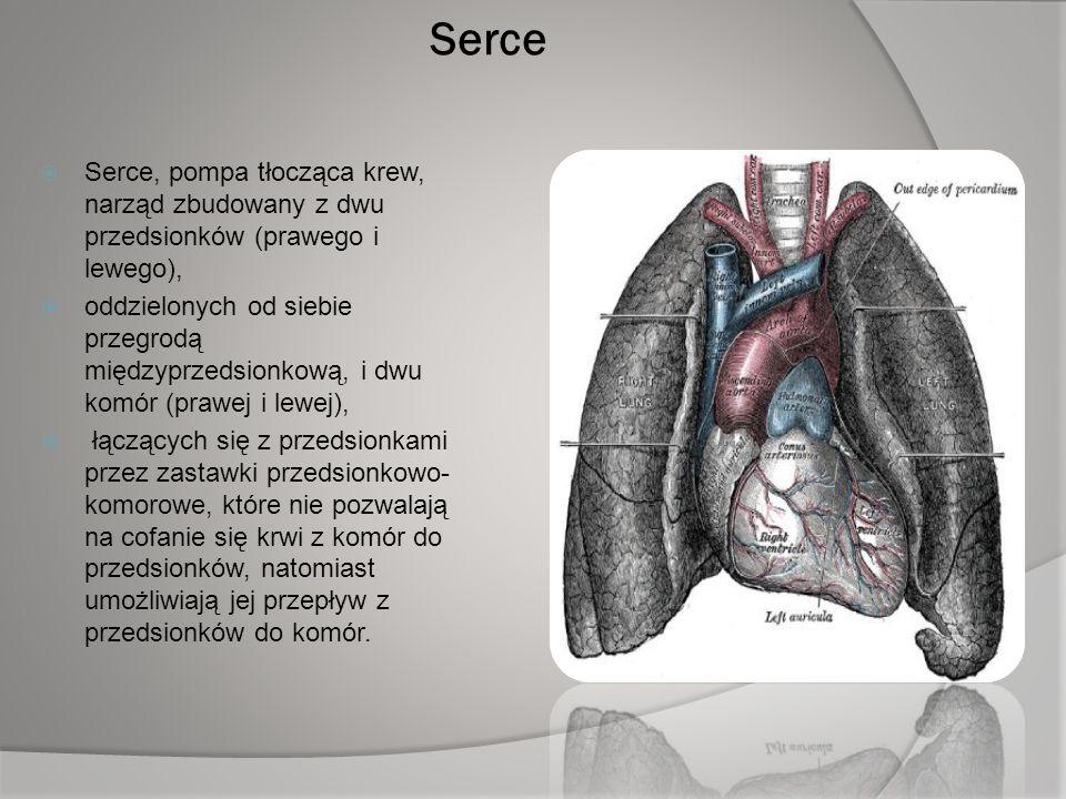 Serce Serce, pompa tłocząca krew, narząd zbudowany z dwu przedsionków (prawego i lewego),