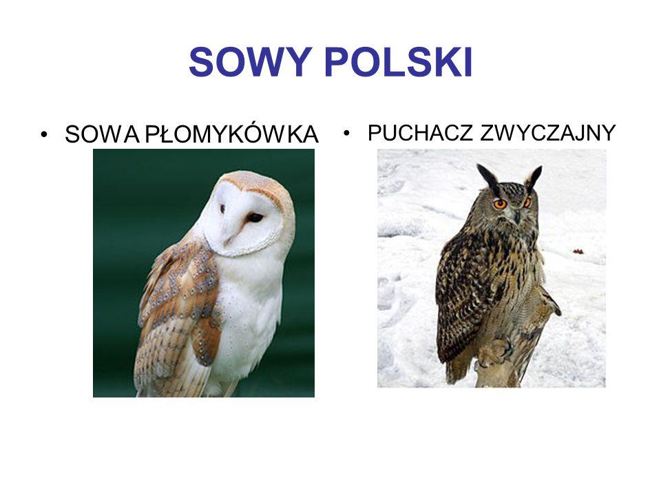 SOWY POLSKI SOWA PŁOMYKÓWKA PUCHACZ ZWYCZAJNY