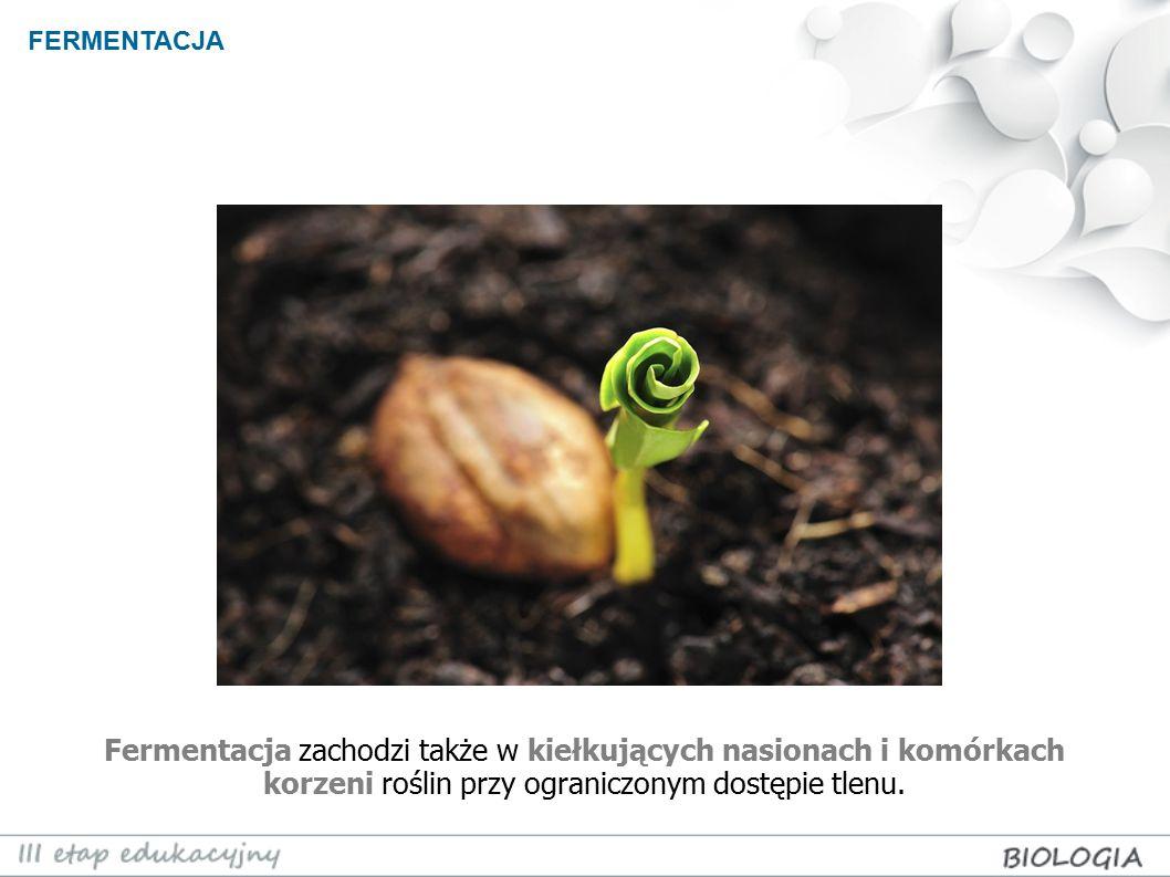 FERMENTACJA Fermentacja zachodzi także w kiełkujących nasionach i komórkach korzeni roślin przy ograniczonym dostępie tlenu.