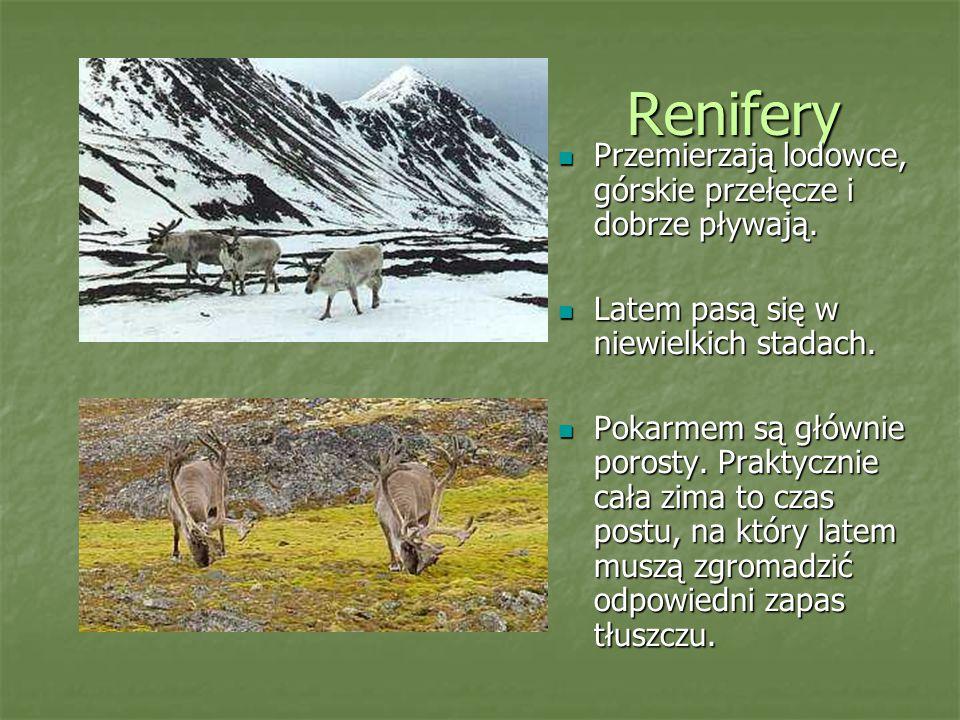 Renifery Przemierzają lodowce, górskie przełęcze i dobrze pływają.