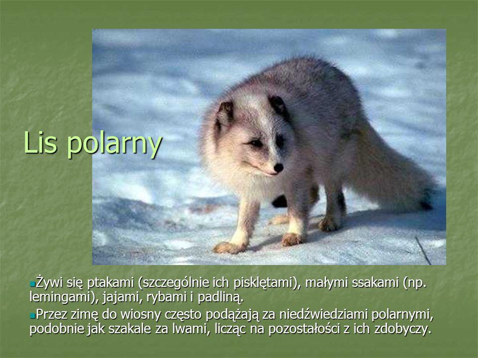 Lis polarny Żywi się ptakami (szczególnie ich pisklętami), małymi ssakami (np. lemingami), jajami, rybami i padliną.