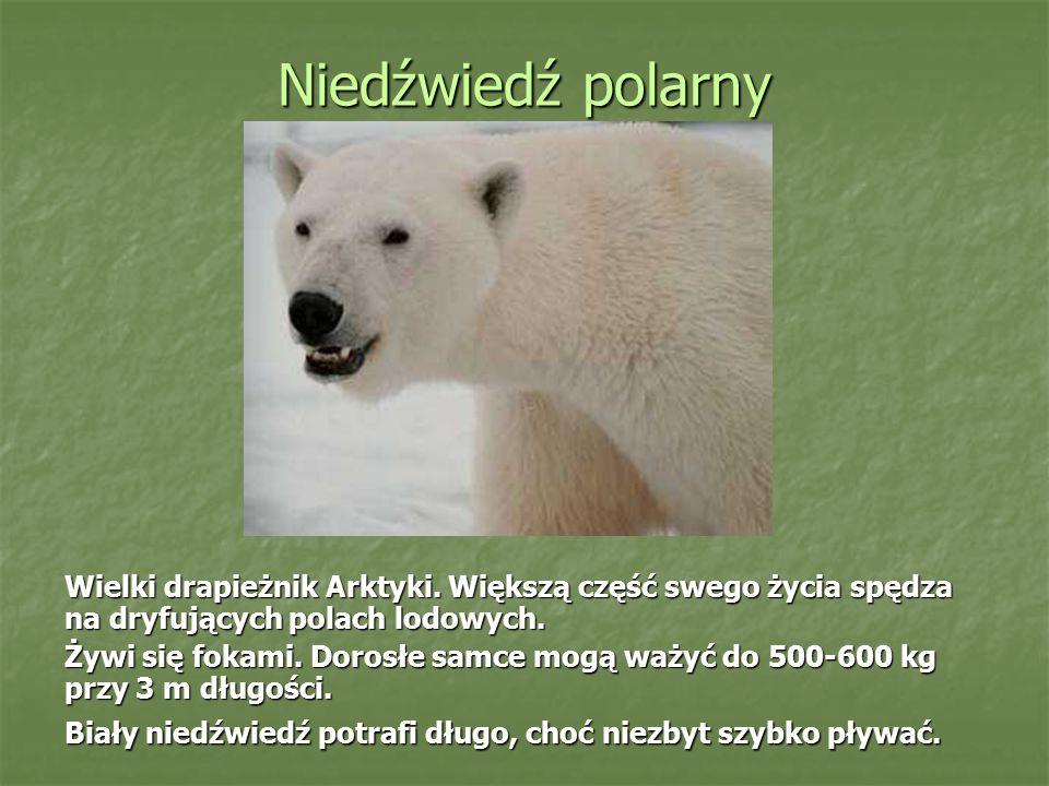 Niedźwiedź polarny Wielki drapieżnik Arktyki. Większą część swego życia spędza na dryfujących polach lodowych.