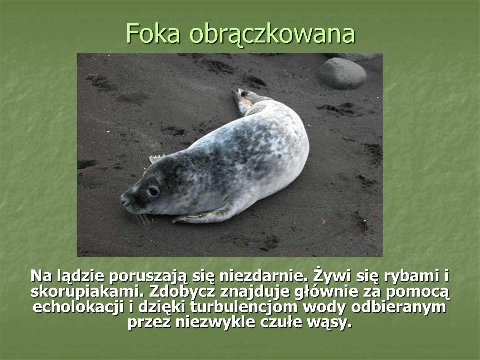 Foka obrączkowana