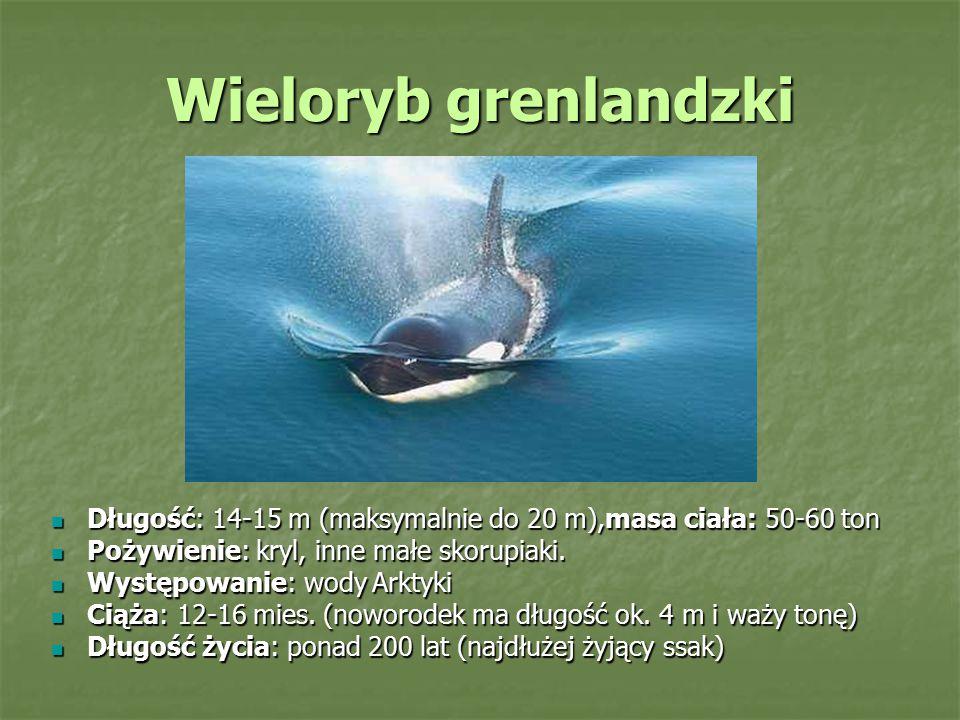 Wieloryb grenlandzki Długość: 14-15 m (maksymalnie do 20 m),masa ciała: 50-60 ton. Pożywienie: kryl, inne małe skorupiaki.
