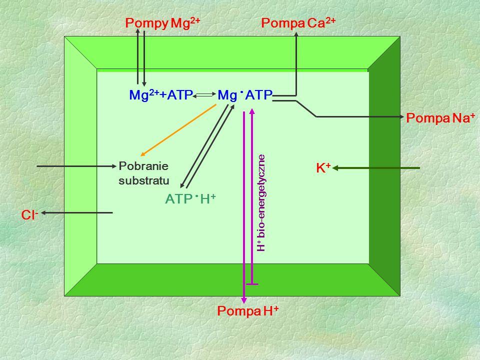 Pompy Mg2+ Pompa Ca2+ Mg2++ATP Mg • ATP Pompa Na+ K+ ATP • H+ Cl-