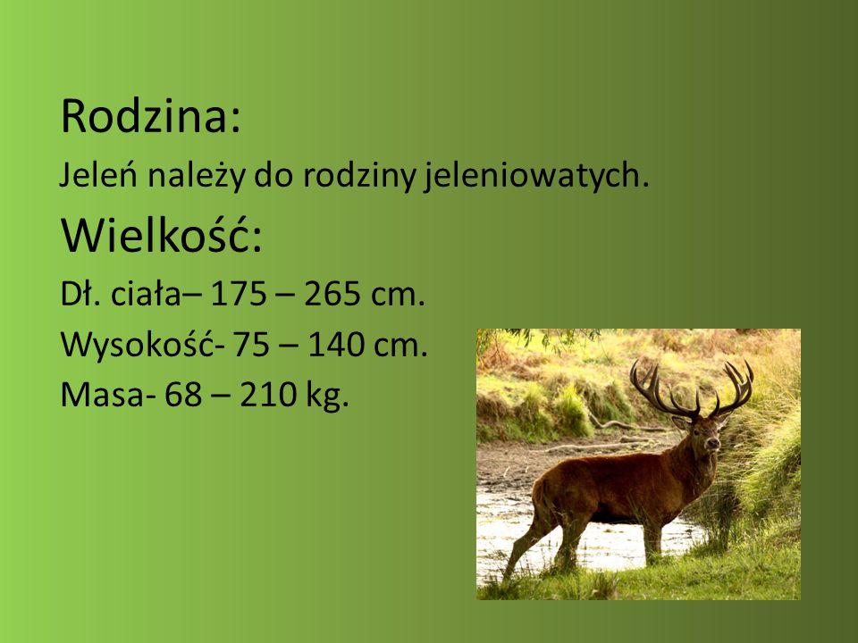 Rodzina: Wielkość: Jeleń należy do rodziny jeleniowatych.