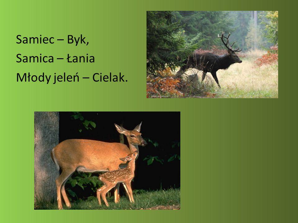 Samiec – Byk, Samica – Łania Młody jeleń – Cielak.