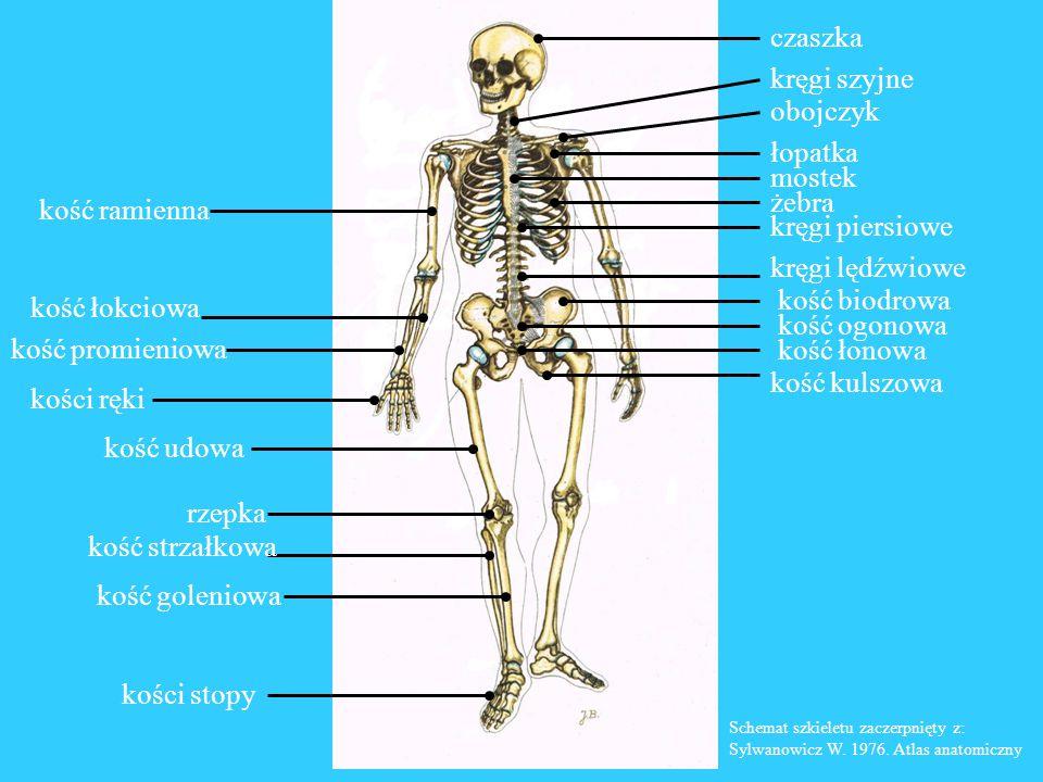 kręgi piersiowe kręgi lędźwiowe kość biodrowa kość ogonowa kość łonowa