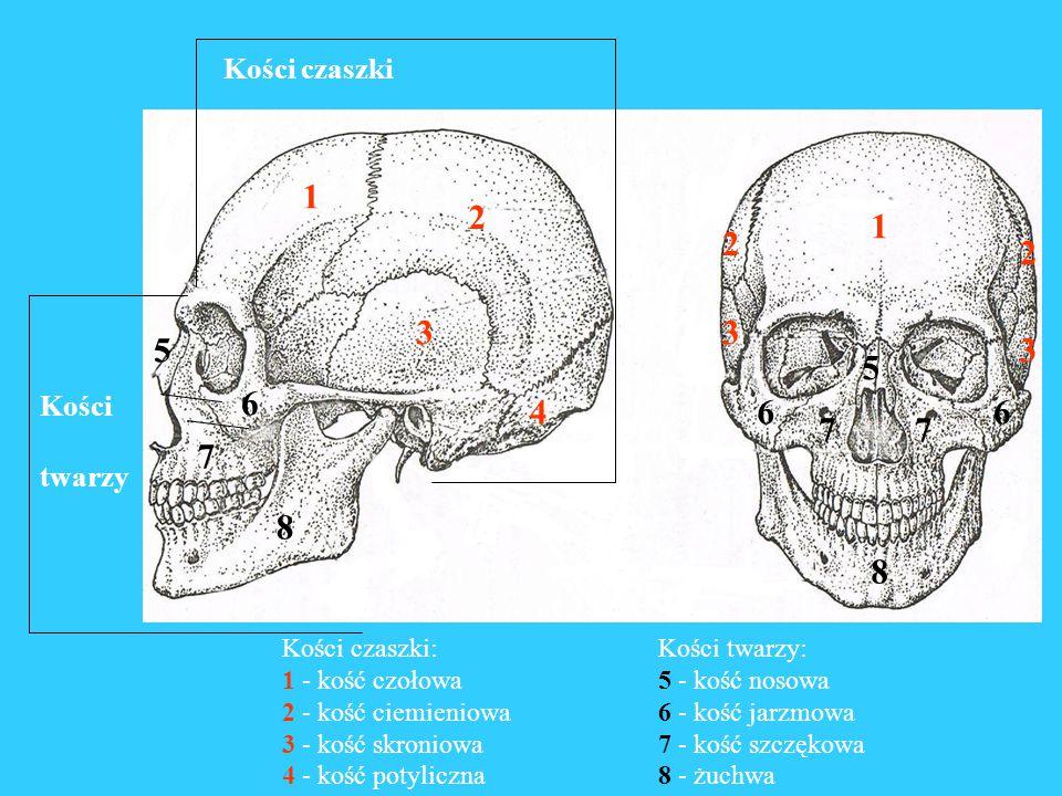 1 2 3 5 6 4 7 8 Kości czaszki Kości twarzy Kości czaszki: