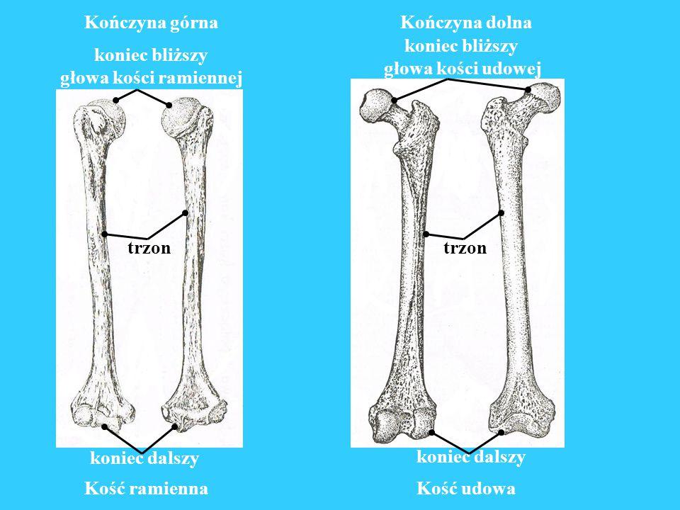 Kończyna górna Kość ramienna. koniec bliższy. głowa kości ramiennej. trzon. koniec dalszy. Kość udowa.