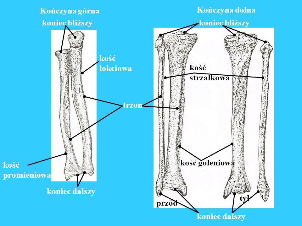 Kończyna górna koniec dalszy. koniec bliższy. kość. promieniowa. łokciowa. Kończyna dolna. koniec dalszy.