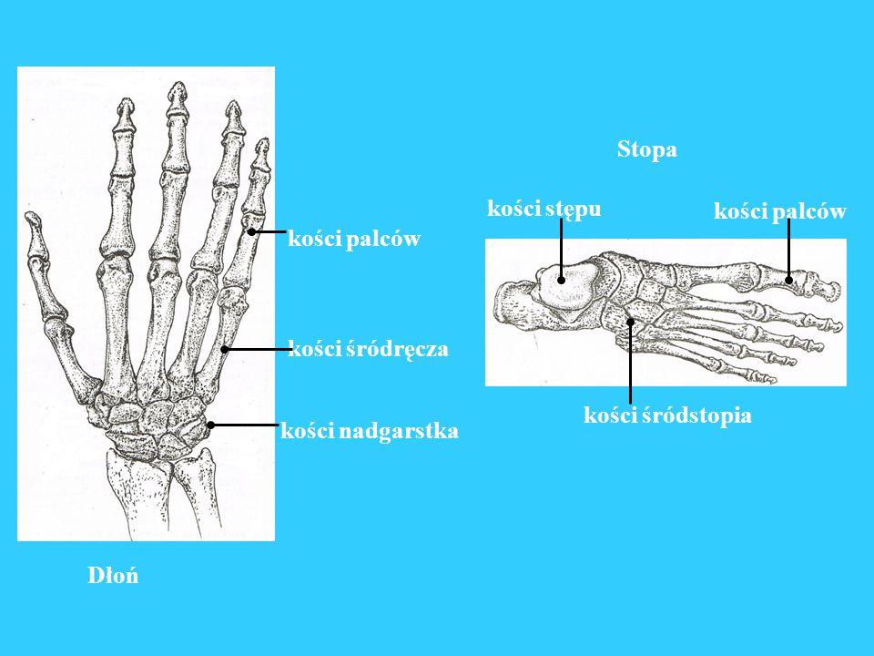 Dłoń kości śródręcza kości nadgarstka kości palców kości palców kości stępu kości śródstopia Stopa
