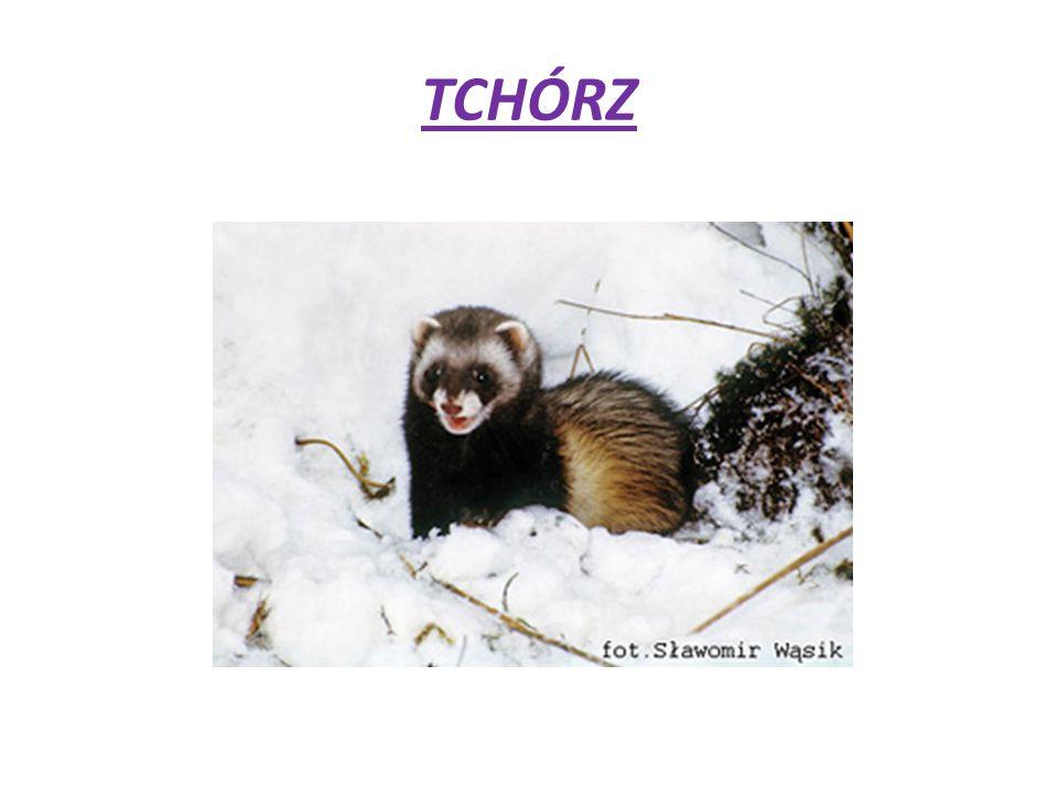 TCHÓRZ