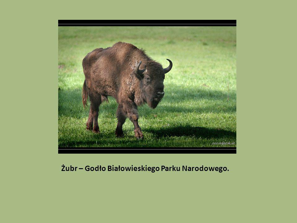 Żubr – Godło Białowieskiego Parku Narodowego.