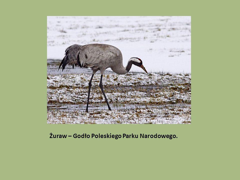 Żuraw – Godło Poleskiego Parku Narodowego.