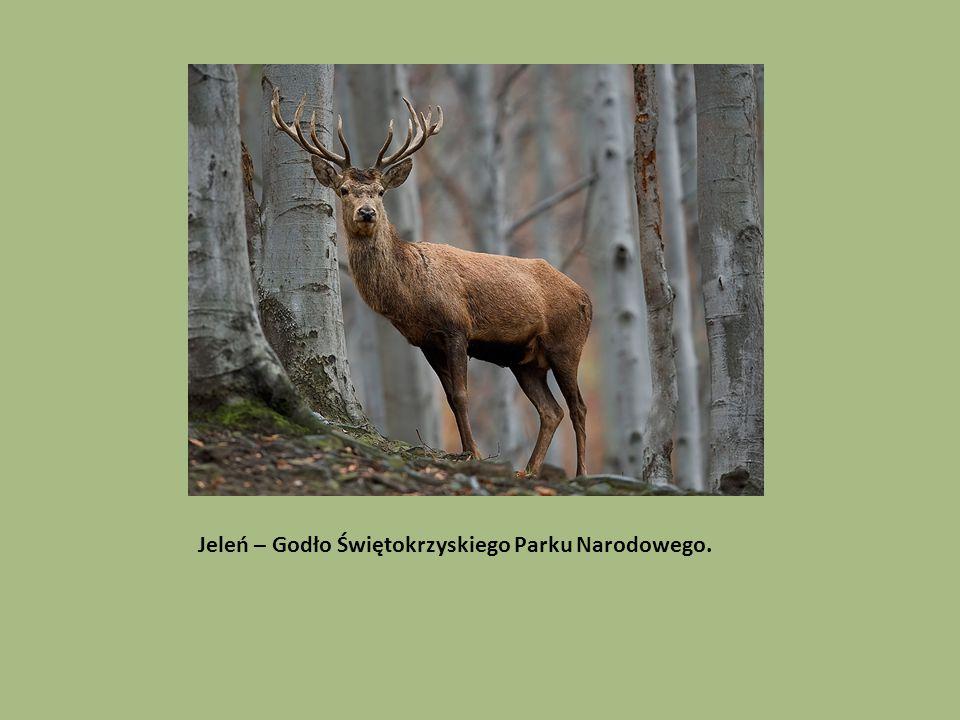 Jeleń – Godło Świętokrzyskiego Parku Narodowego.