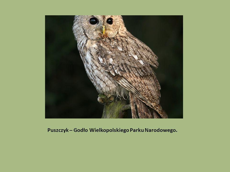Puszczyk – Godło Wielkopolskiego Parku Narodowego.