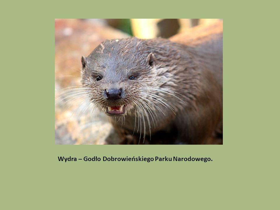 Wydra – Godło Dobrowieńskiego Parku Narodowego.