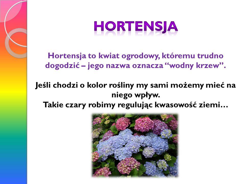 Hortensja Hortensja to kwiat ogrodowy, któremu trudno dogodzić – jego nazwa oznacza wodny krzew .