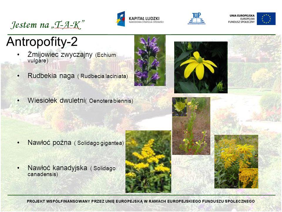 Antropofity-2 Żmijowiec zwyczajny (Echium vulgare)