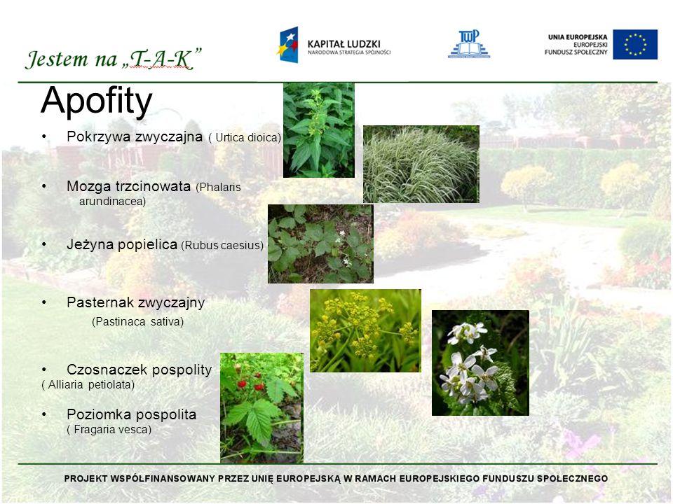 Apofity Pokrzywa zwyczajna ( Urtica dioica)