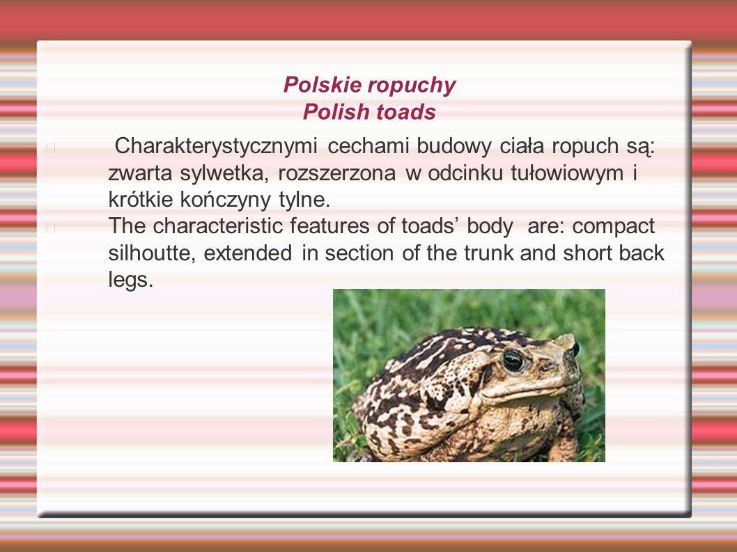 Polskie ropuchy Polish toads