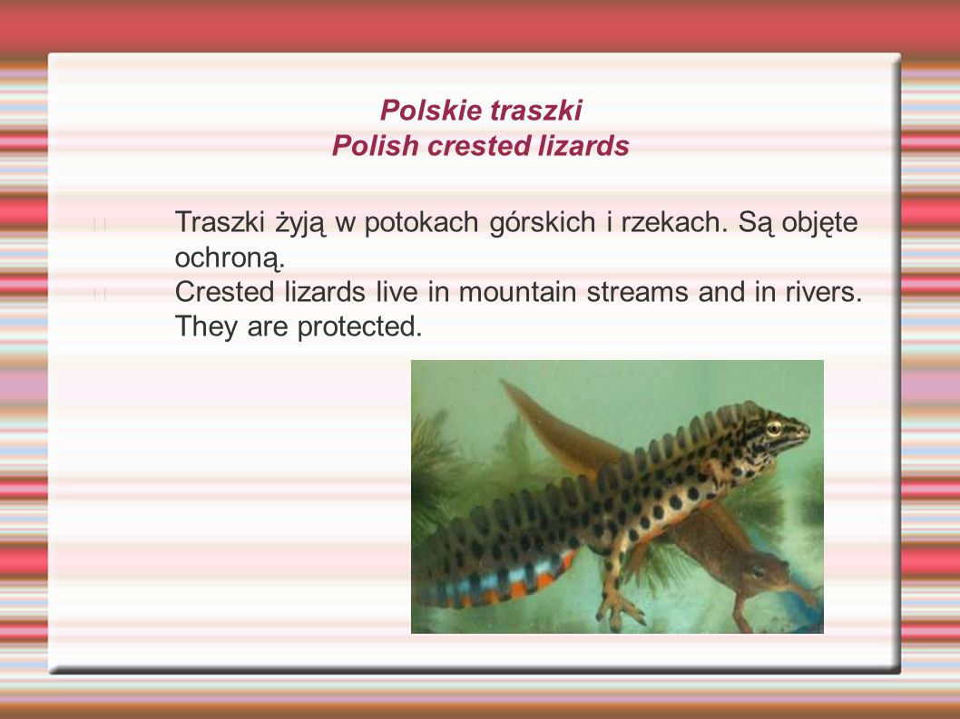 Polskie traszki Polish crested lizards