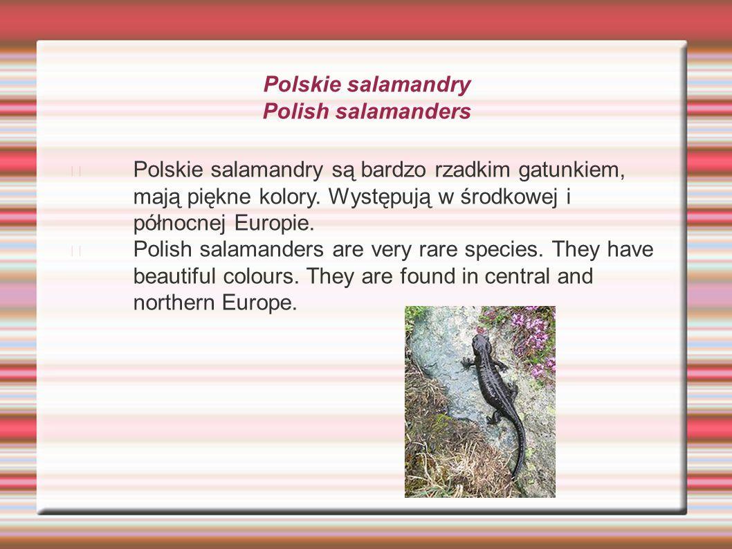 Polskie salamandry Polish salamanders