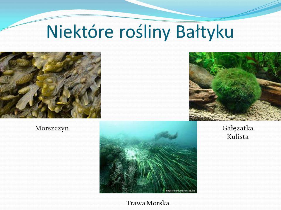 Niektóre rośliny Bałtyku