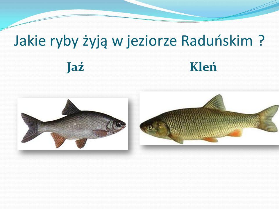 Jakie ryby żyją w jeziorze Raduńskim