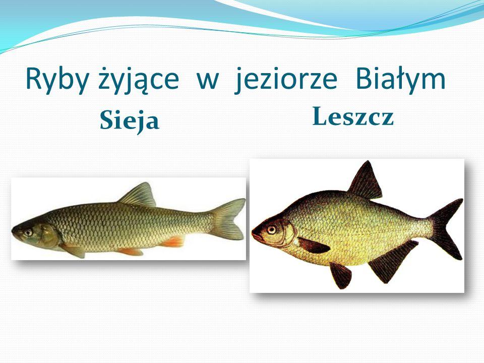 Ryby żyjące w jeziorze Białym