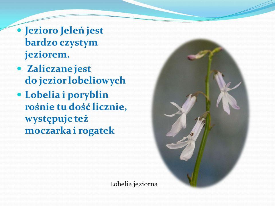 Jezioro Jeleń jest bardzo czystym jeziorem.