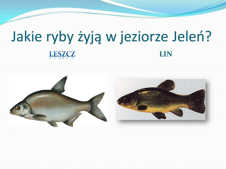 Jakie ryby żyją w jeziorze Jeleń
