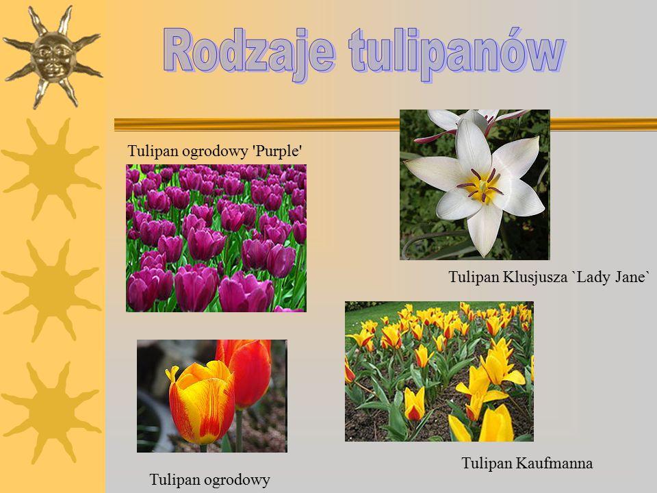 Rodzaje tulipanów Tulipan ogrodowy Purple
