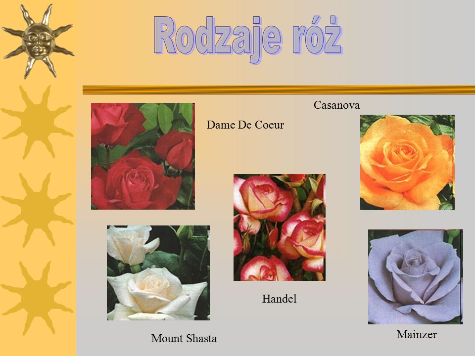Rodzaje róż Casanova Dame De Coeur Handel Mainzer Mount Shasta