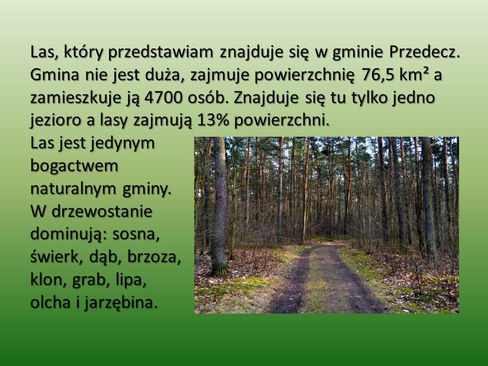 Las, który przedstawiam znajduje się w gminie Przedecz