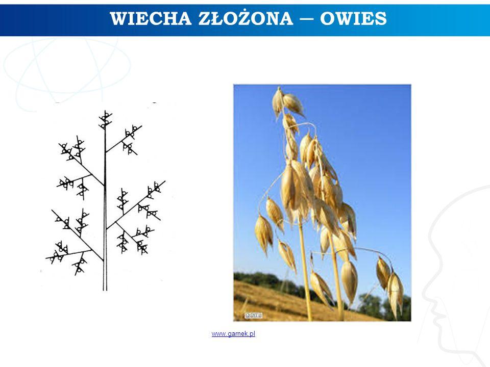 WIECHA ZŁOŻONA ─ OWIES www.garnek.pl