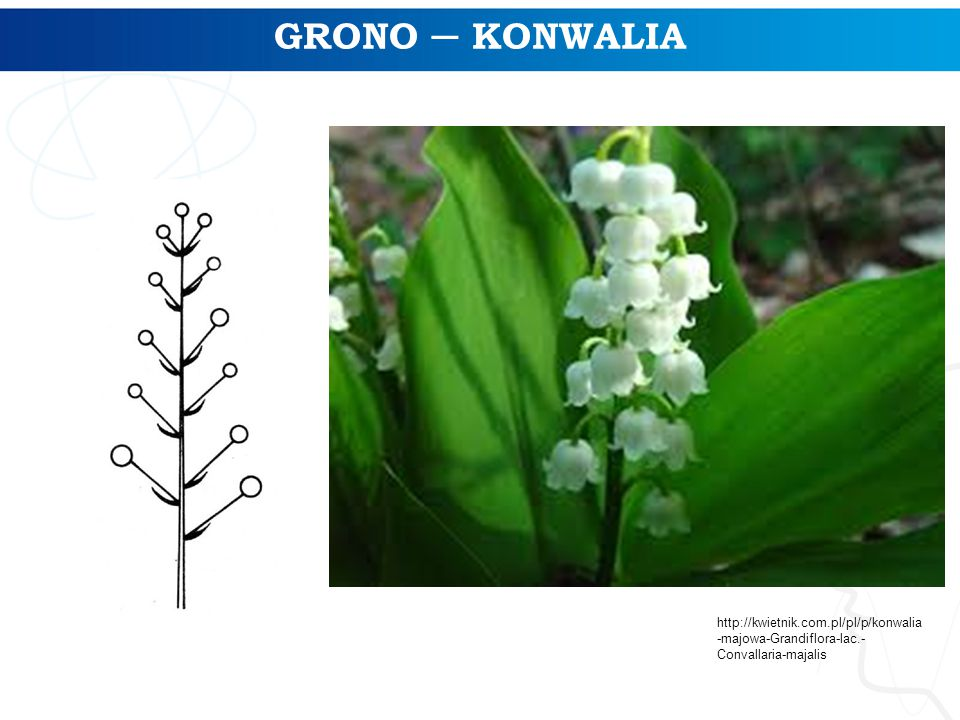 GRONO ─ KONWALIA http://kwietnik.com.pl/pl/p/konwalia-majowa-Grandiflora-lac.-Convallaria-majalis