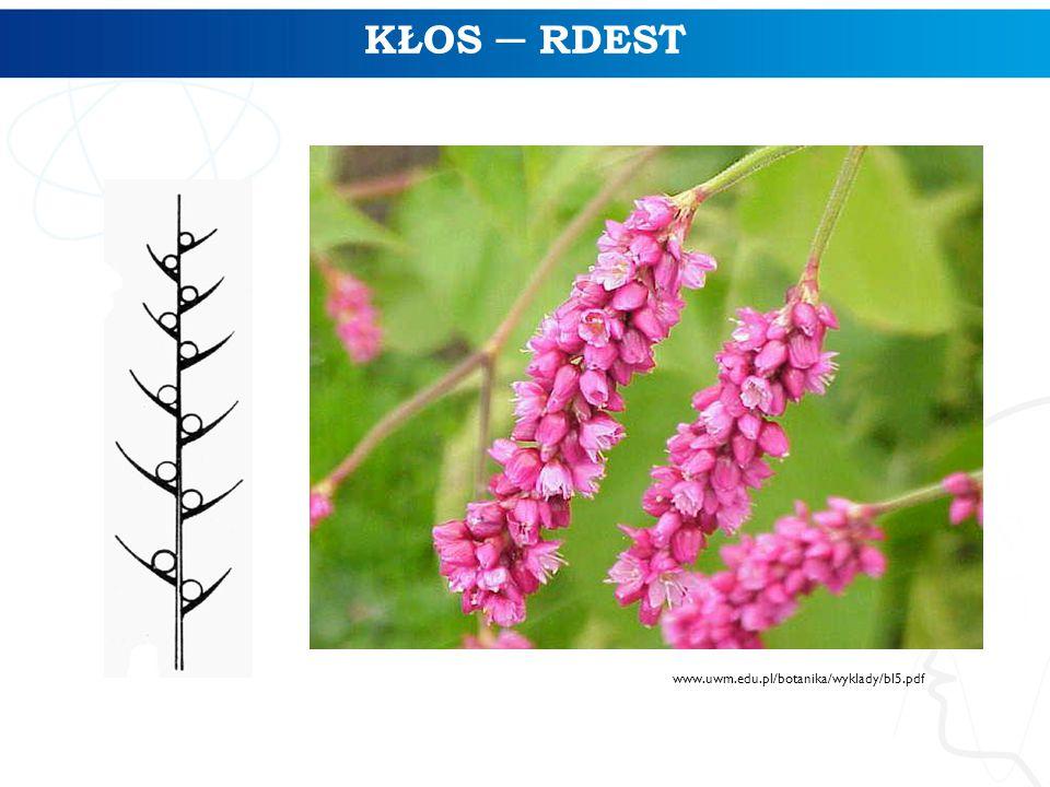 KŁOS ─ RDEST www.uwm.edu.pl/botanika/wyklady/bl5.pdf