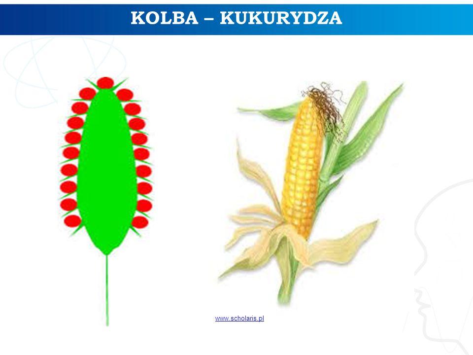 KOLBA – KUKURYDZA www.scholaris.pl