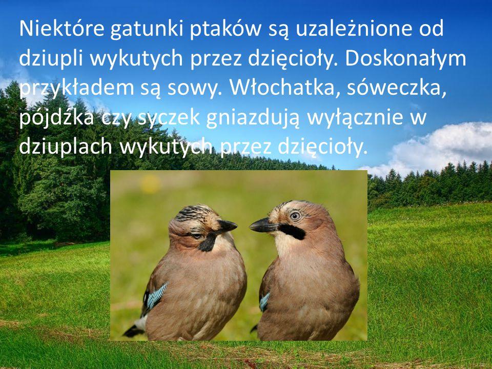 Niektóre gatunki ptaków są uzależnione od dziupli wykutych przez dzięcioły.