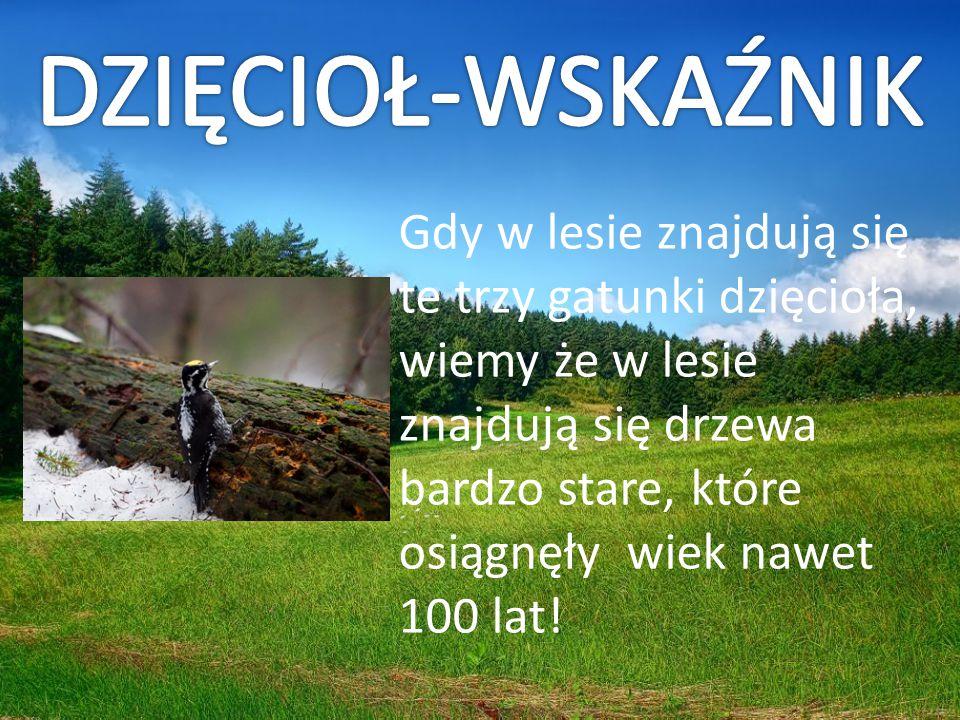 DZIĘCIOŁ-WSKAŹNIK