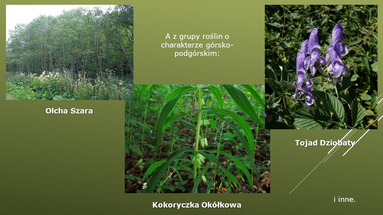 A z grupy roślin o charakterze górsko-podgórskim: