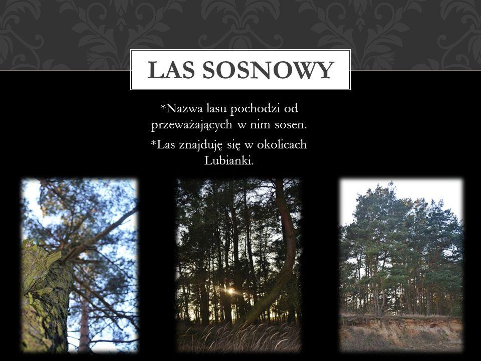 Las sosnowy *Nazwa lasu pochodzi od przeważających w nim sosen.